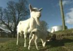 Graziano Milia in UE: denunciato presunto cartello di acquirenti latte a scapito dei pastori sardi